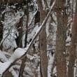 クマゲラの棲む森