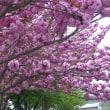 サクラ さくら  桜