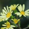 白花ツワブキ