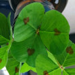 琵琶湖のクローバーは葉にハート模様