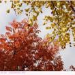 ハゼノキとイチョウの紅葉