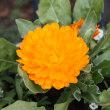 「おはようの花」 キンセンカ (金盞花) 2月