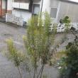 #老一人 今日もしとしと すすき梅雨
