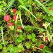 蛇苺の実と青蘆