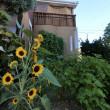 ヒマワリの長い花