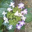 咲き始めた、アジサイの花
