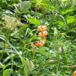 栂池自然園シリーズ23 山野草色々