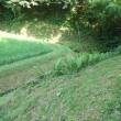 こごみの畑