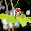 万博公園の白木蓮の果実