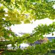 天理の銀杏並木