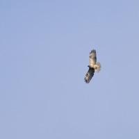 我が家の上空を、見慣れない猛禽類が旋回していました。 (Photo No.14067)