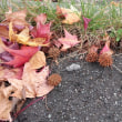 フウとエノキの落葉