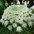 美しい人参の花★花を植えなくても・・・