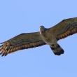 2017.09.24(日)の日誌(秋の鷹渡り#17-07-01:オオタカ&サシバ&ハチクマの飛翔)