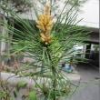 紅孔雀松の花