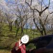 芦野御殿山公園のサクラ