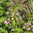 ミゾソバの花とアオスジアゲハ