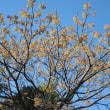 栴檀(せんだん)の樹