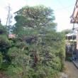 松の木の手入れ終了