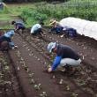農業実践教室第23期:2回目~マルチ張り、キャベツ・ブロッコリー苗の定植