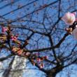 米子市内の桜開花 2018年 NO⑤