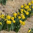 春を探しに・・・駒ケ根に水仙の花