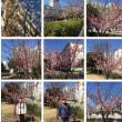 20160219河津桜