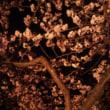 河津桜は満開です(^ ∇^)