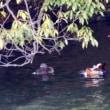 12/15探鳥記録写真-2(頓田貯水池のカモたち:カイツブリ3種、マガモ、オシドリほか)