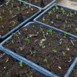 11月4日に播種したソラマメの植え付けを始めました