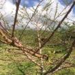 桃の木が枯れた