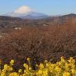 富士山と菜の花(2019/01/18)