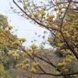 今年もサンシュユが黄色い花を咲かせた