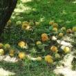 落下した梅の実