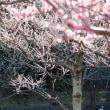 遅咲きの梅と春の陽