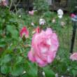 鮮明です。バラのストロベリーアイス