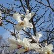 コブシの花と横濱緋桜
