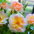 薔薇フローランド