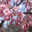 八王子兵衛川沿いの桜