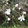 いつだったかの、3月30日のコブシの花です。