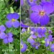 オーブリエチアの花は