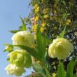 太白桜 たいはく 花弁の大きさ 他
