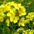 『菜の花が 鮮やか綺麗 畑かな』菜の花川柳