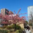 錦糸公園☆河津桜2018