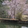 里山の春 発見♪・・・早咲きの山桜? 馬酔木
