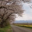 今年の桜事情