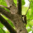 すばしっこく、木を登るキバシリ。