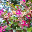 トキハマンサクが又咲き始めた。