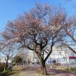 ウメ - 東京都西東京市