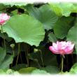お盆の花(^^♪お釈迦様が花の上で瞑想する「蓮華の花」、「一蓮托生」という言葉の語源
